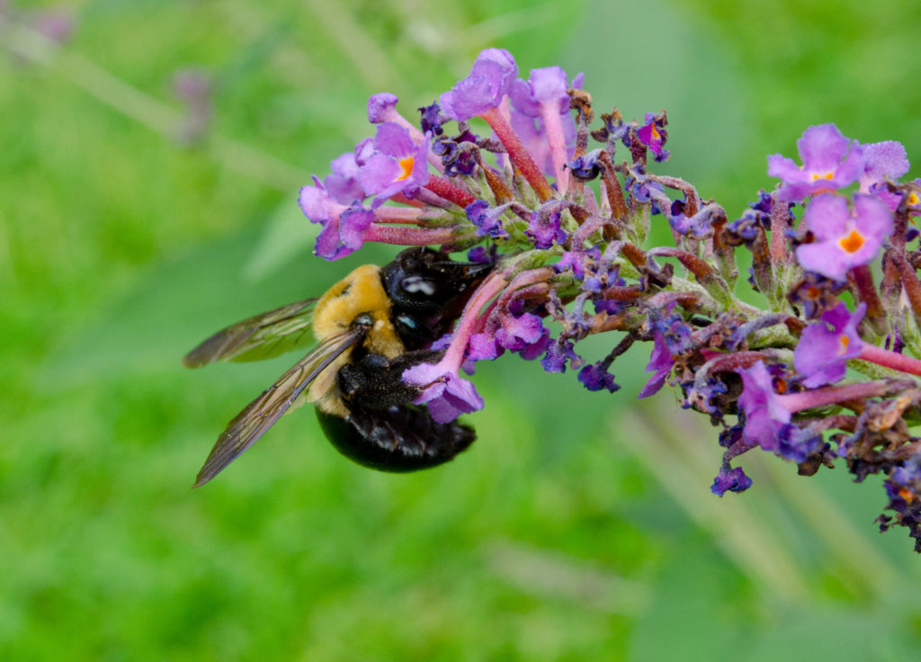 Honeybee on Butterfly Bush