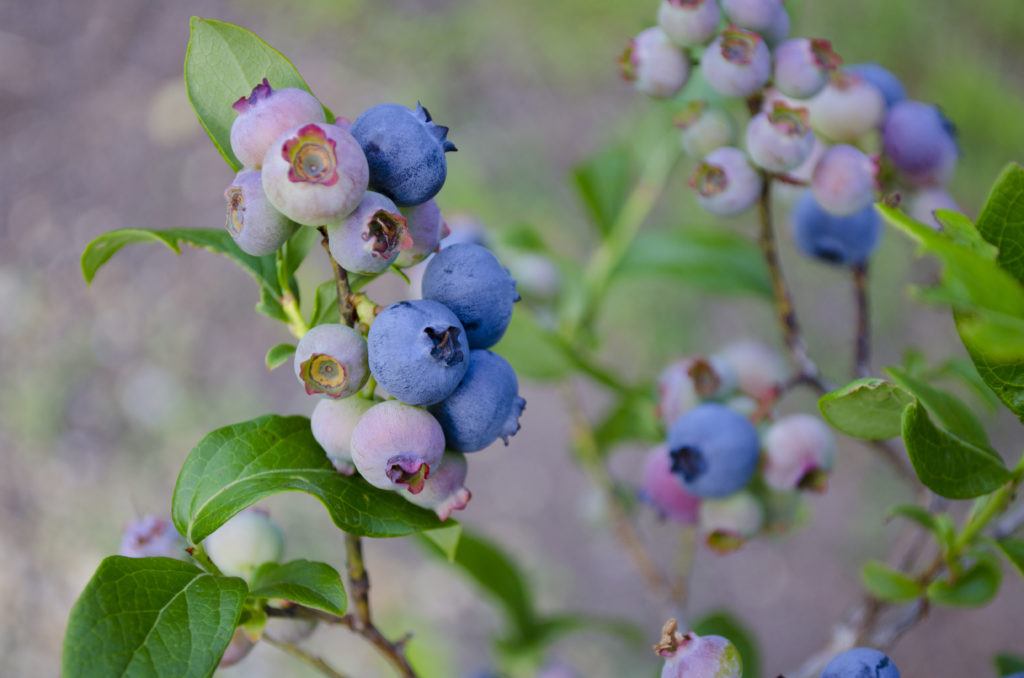 New Blueberries - North Carolina